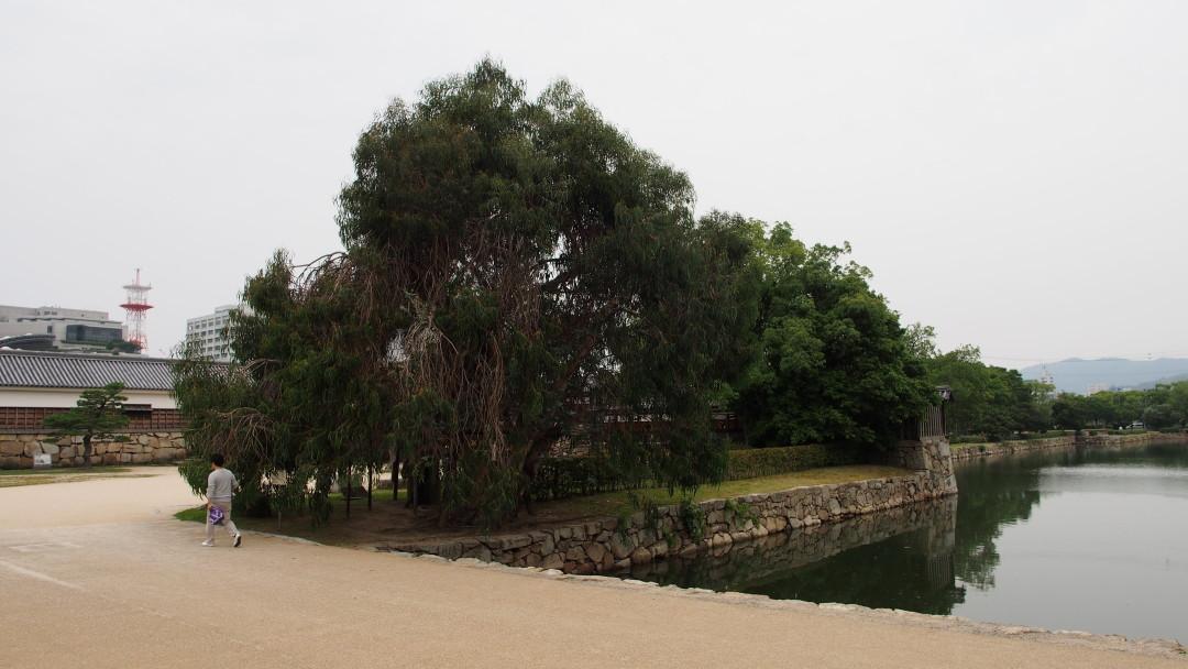 Det gråtende, overlevende piletre (Salix babylonica)