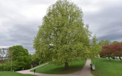Hundre tusen nye trær! Er det mulig?