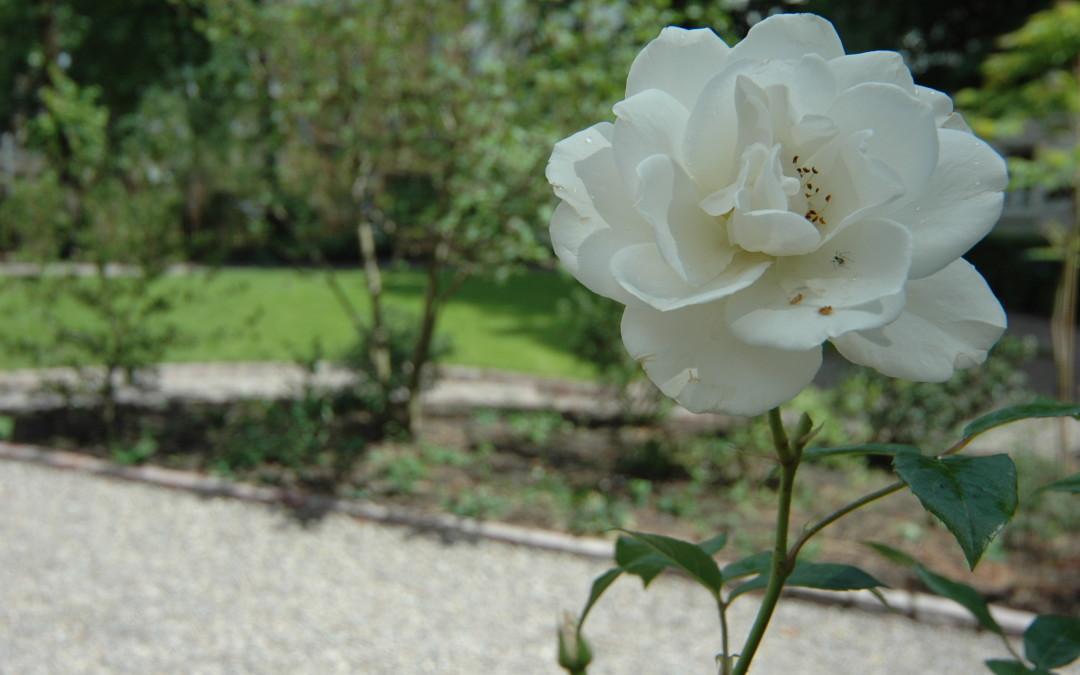 Frosne roser fryder få